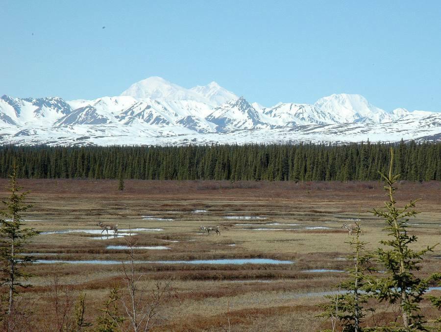 """Denali (Mt. Mc. Kinley 6194 m) mit Cariboos. Der Berg trägt mittlerweile den alten indianischen Namen """"Denali"""""""