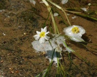 Ranunculus fluitans