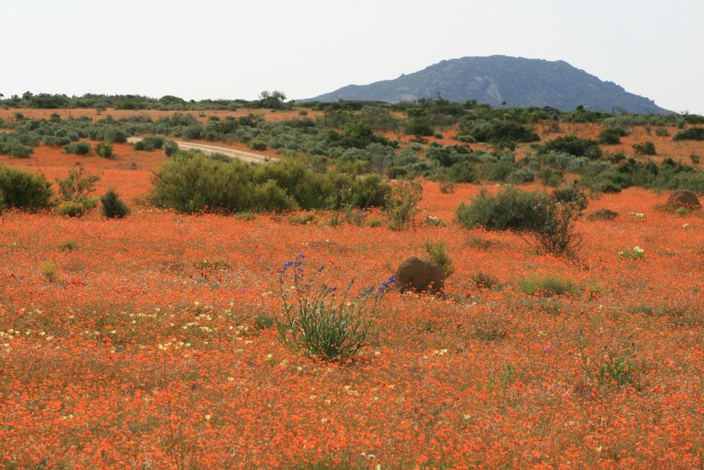 Blühendes Namaqualand