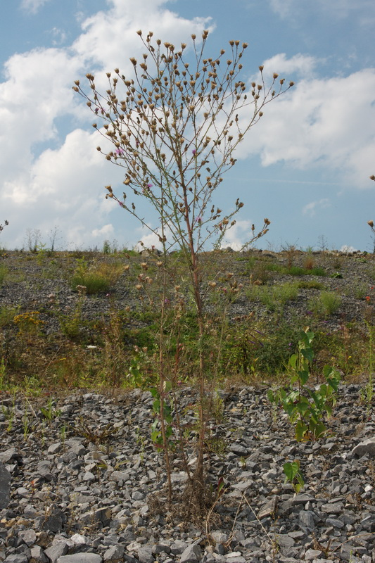 Centaurea stoebe