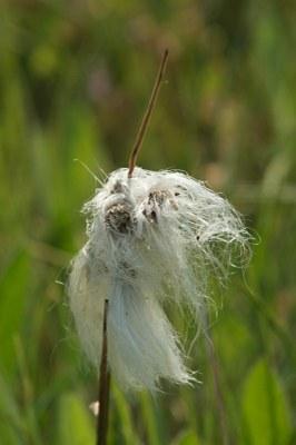 Eriophorum angustifolium