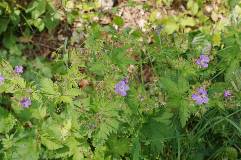 Geranium sylvaticum