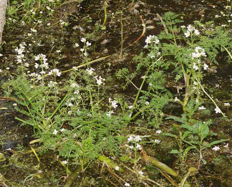 Hottonia palustris