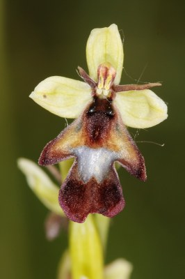 Ophrys insectifera1