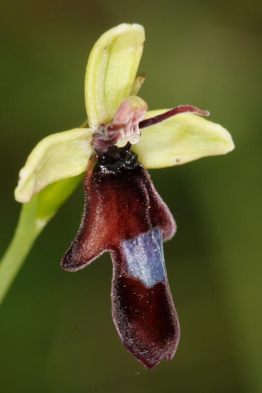 Ophrys insectifera2