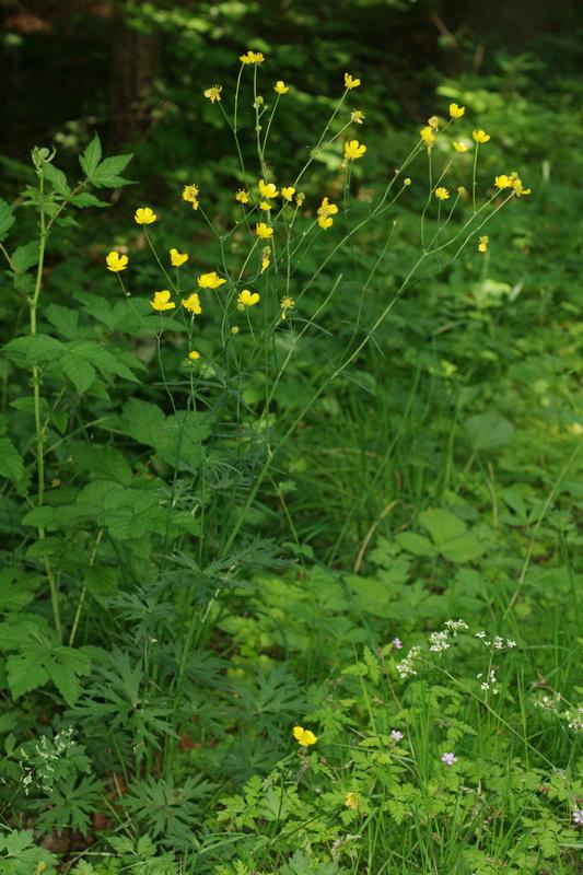 Ranunculus polyanthemos.