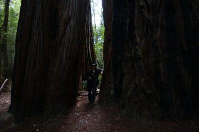Die großen Küsten-Mammutbäume