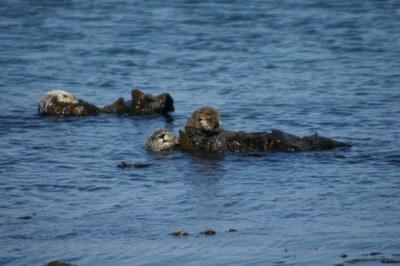 Seeotter vor der Küste in der Dünung von Morro Bay