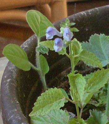 Scutellaria_altissima.jpg