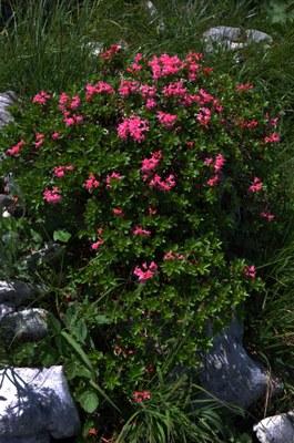 Rhododendron_hirsutum_NP-BGD_Kehlstein_20100714_004.JPG