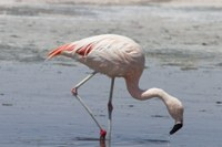 Chileflamingo-38306-Chile.jpg