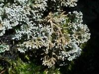 Korallen-Strauchflechte_Sphaerophorus_globosus_NP_Eifel_kl.JPG