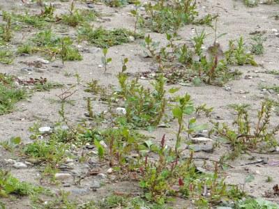 Sandbank mit Neophyten