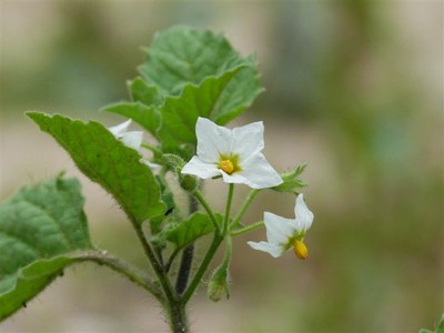 Solanum sarachum