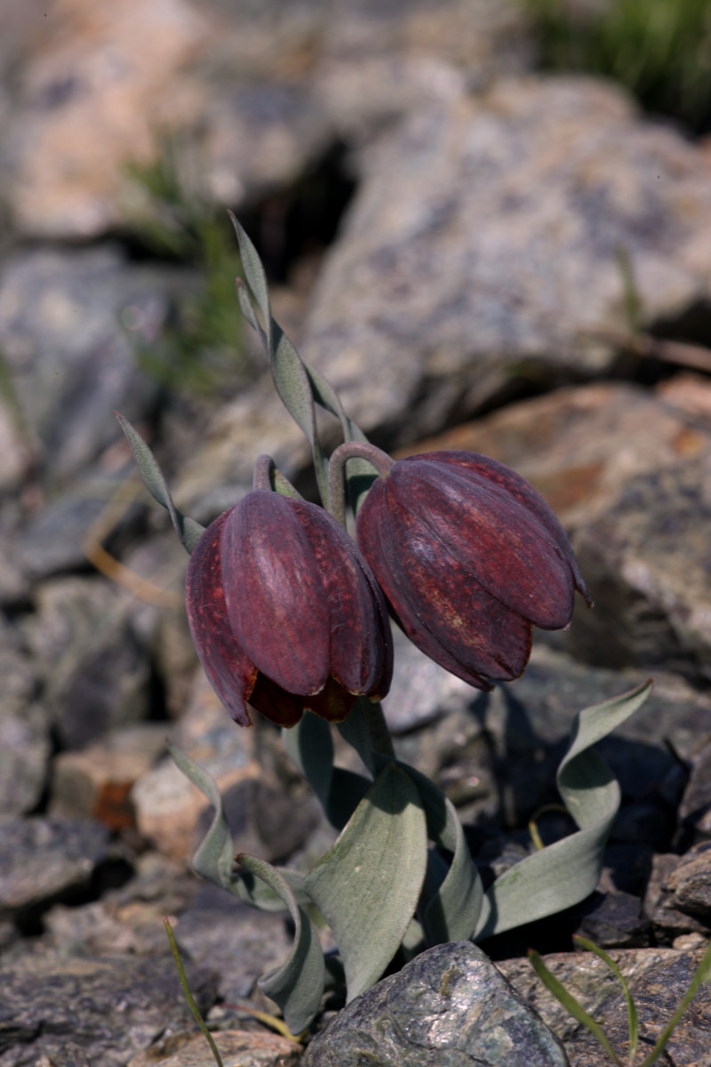 Fritillaria_epirotica_kl.JPG