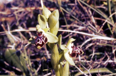 Rhodos-Ophrys_umbilicata_kl.jpg