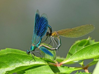 Calopteryx_splendens