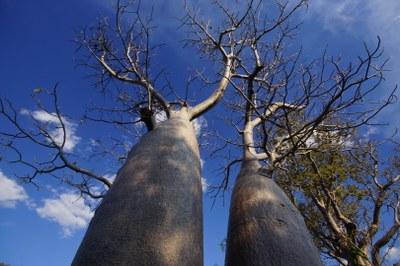 Australische Boabs (Adansonia grigorii)