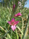 Gladiolus_communis_La_Gola_Port_de_Pollenca_Mallorca_2011.04.04_kl.jpg