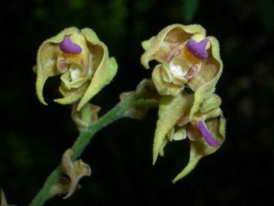 1polystachya-bruechertiae-ruanda.jpg
