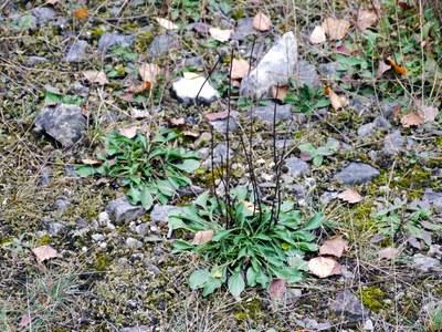 Globularia elongata in Wuppertal Vohwinkel. Foto von Detlef Regulski.