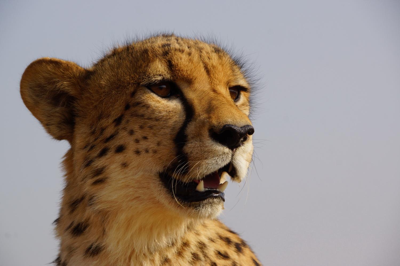 Junger Gepard