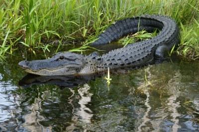 Alligator in den Okefenokee-Sümpfen
