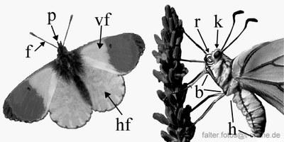 Anatomie der Schmetterlinge
