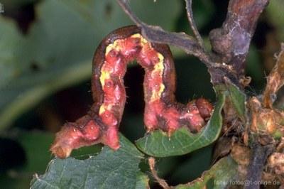 Raupe des Grossen Frostspanners (Erannis defoliaria)