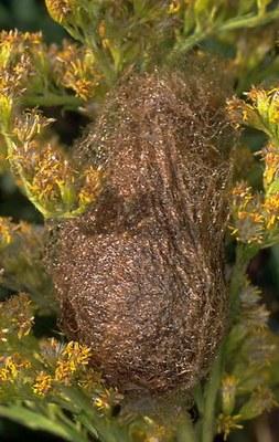 Kleines Nachtpfauenauge (Saturnia pavonia) Kokon