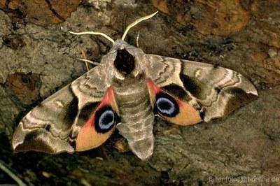 Abendpfauenauge (Smerithus ocellata)