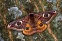 Kleines Nachtpfauenauge (Saturnia pavonia) Männchen 2