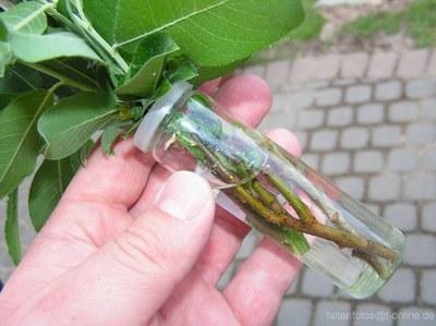 Zweige frisch halten