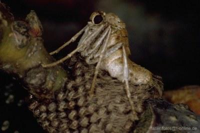 Kreuzflügel (Alsophila aescularia) Weibchen