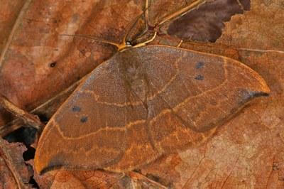 Zweipunkt-Sichelflügler (Watsonalla binaria)