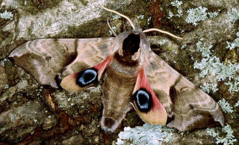 Smerinthus ocellata