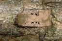 Conistra rubiginosa