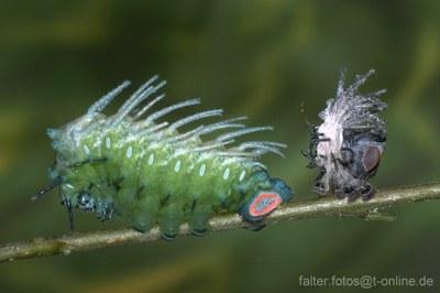 Atlasspinner (Attacus atlas) Raupe