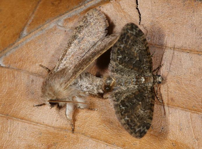 Orthosia cruda, Fehlpaarung mit Eupithecia abbreviata