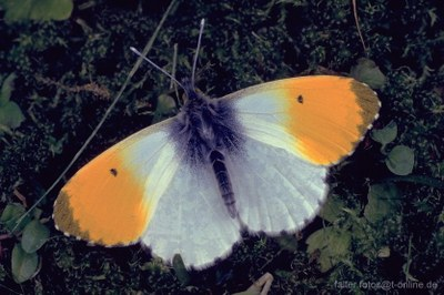 Aurorafalter (Antocharis cardamines) 2