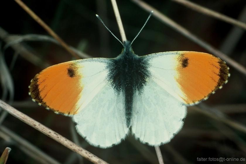 Aurorafalter (Antocharis cardamines) Bild 2
