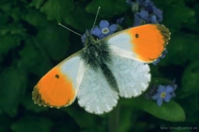 Aurorafalter (Antocharis cardamines)