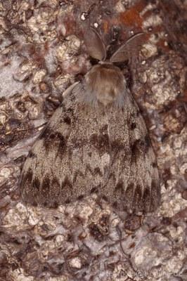 Schwammspinner (Lymantria dispar) 2