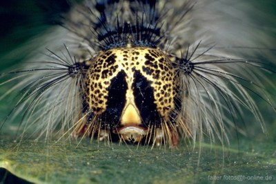 Schwammspinner (Lymantria dispar) Raupe