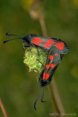Sechsfleck-Widderchen (Zygaena filipendulae) 2