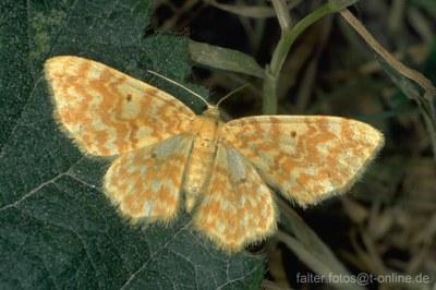 Gelbgestreifter Erlenspanner (Hydrelia flammeolaria)