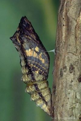 Schwalbenschwanz (Papilio machaon) Puppe