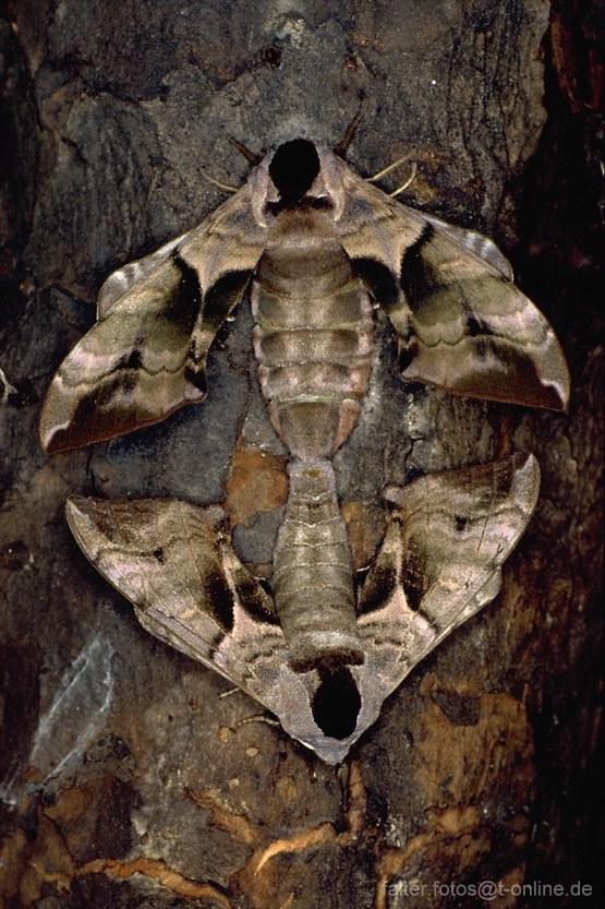 Abendpfauenauge (Smerithus ocellata) Paarung