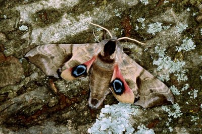 Abendpfauenauge (Smerithus ocellata) 2