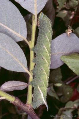 Abendpfauenauge (Smerithus ocellata) Raupe